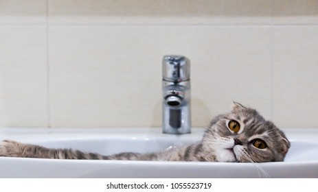 Scottish fold cat lying relaxed in the sink