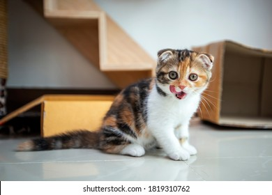 Scottish fold cat are playing in the house. Tricolor kitten are sitting on cement floor in the morning. Kittens with folding ears are eaing food.