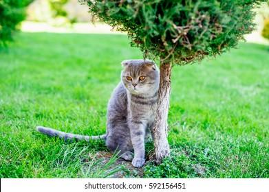 Scottish fold cat playing on the grass