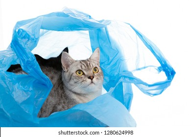 Scottish Fold cat playing in the plastic bag with ball alone ,isolated on white background.