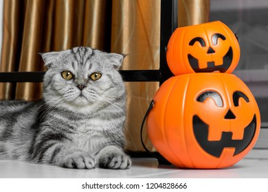 Scottish fold cat and pumpkins in halloween festival. Cute cat in the night hallowee. Scottish fold in the halloween.