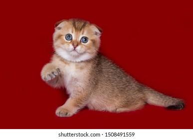 scottish fold cat raised a paw