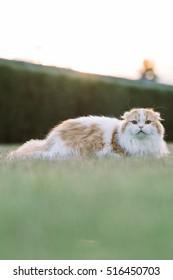Scottish fold cat, shoot during sunset warm light.