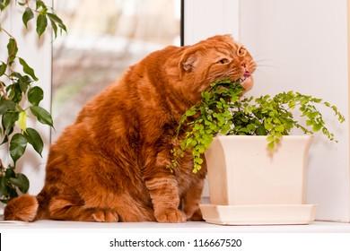 A scottish fold cat sitting on a windowsill and eating of houseplants