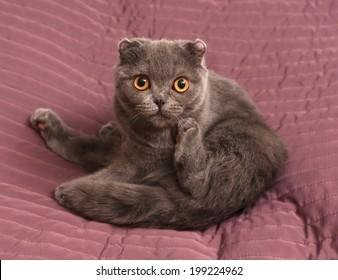 Scottish Fold cat sitting on pink background