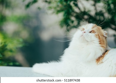 Scottish fold cat, sitting on the bench , selective focus on its eye
