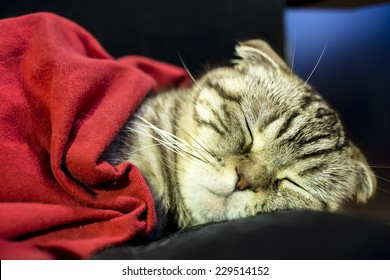 Scottish fold cat sleeping sweetly like a man under the red blanket