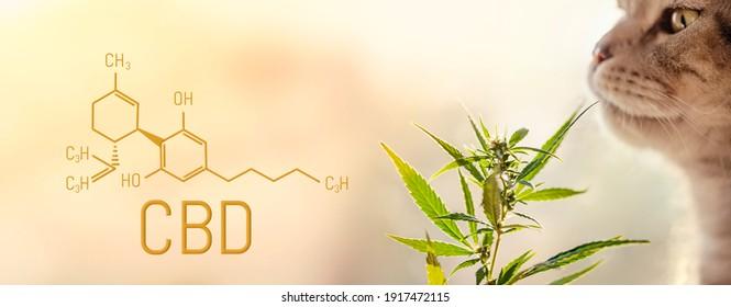 Scottish fold cat sniffing marijuana leaf, copy space. Cannabis bush top with CBD cannabidiol chemical formula, beautiful blurred background