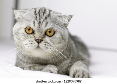 Scottish fold cat are squat on white bed in the room. Gray cat with beautiful patterns. Cat are staring.