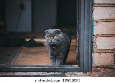 Scottish Fold cat standing in the doorway