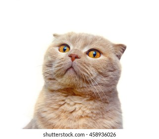 Scottish Fold cat stares into the distance