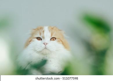 Scottish fold cat staring at camera from behind the bush.