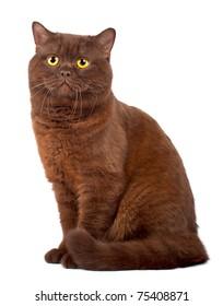 Scottish fold Chocolate cat on a white background