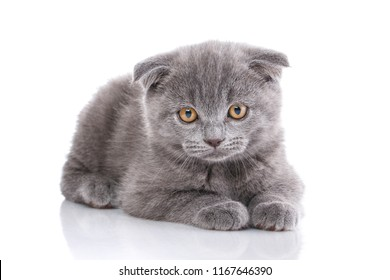 Scottish fold cute kitten. An interesting kitten who looks into the forwards. Purebred cat who pose for the camera. Kitten concept postcard. Valentine's day. isolated on a white background