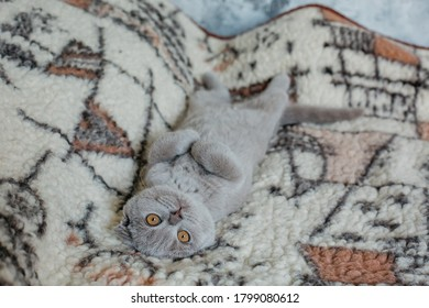 """The Scottish Fold - domestic cat with a natural dominant-gene mutation that affects cartilage throughout the body, causing the ears to """"fold"""", bending forward and down towards the front of the head."""