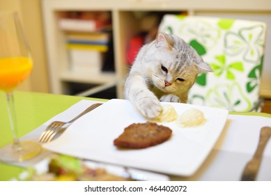 A Scottish Fold eating the food on the table.