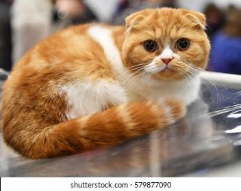 A Scottish Fold kitten