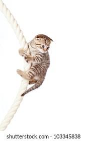 Scottish fold kitten climbing on rope isolated on  white background