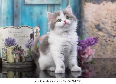Scottish fold kitten and flowers