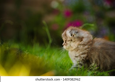 Scottish Fold kitten portrait outdoors in grass with flowers in the background