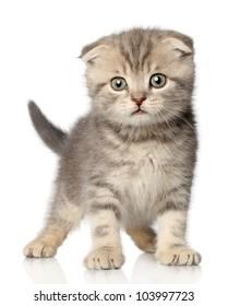 Scottish Fold kitten posing on a white background