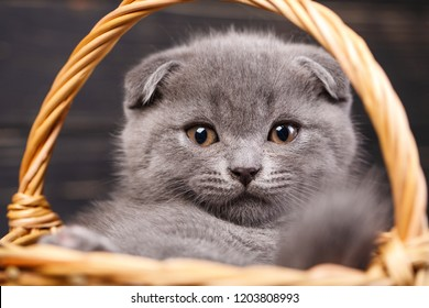 Scottish fold kittens. Funny gray cat in the basket. A kitten looks at the camera. Purebred Kitten at the photo studio. On a black background