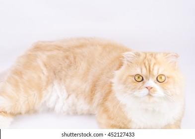 Scottish fold Orange hair isolated on white background