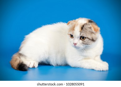 scottish fold shorthair tortie with white kitten