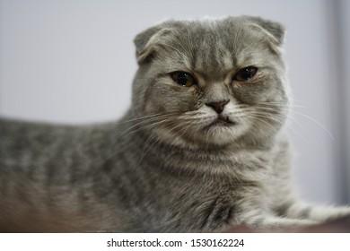 Scottish Fold Silver breed cat