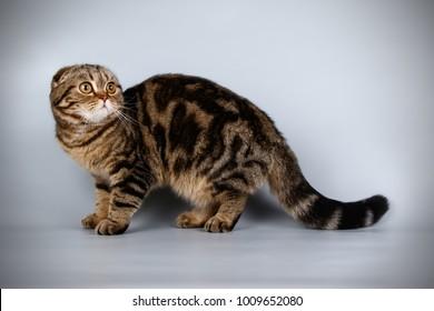 scottish fold tabby cat