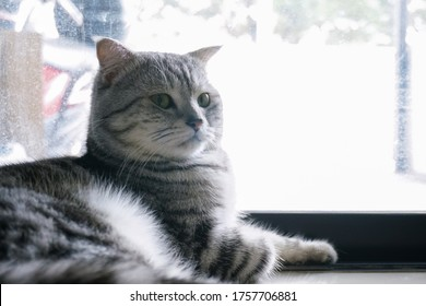 Scottish fold tabby cat lay near the glass door with bright background