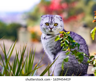 Scottish fold tabby cloud color