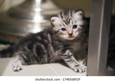 Scottish fold tabby kitten is trying to stand