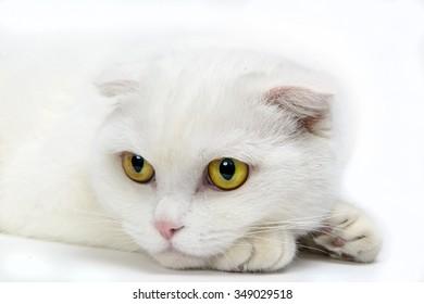 Scottish fold, white domestic cat