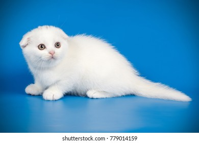 scottish fold white kitten