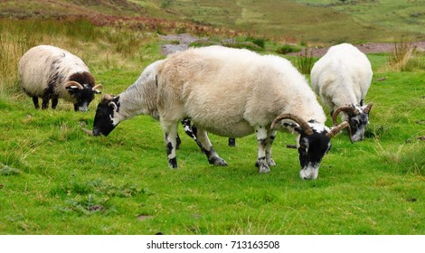 Scottish Goats at Pasture eating grass