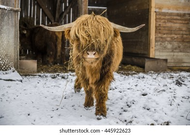 Scottish hairy coo cow
