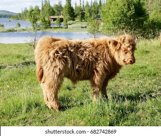 Scottish highland calf on pasture