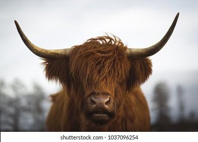 Scottish Highland cattle in Bavaria