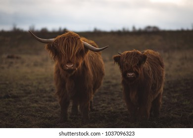 Scottish Highland cattle in Bavaria