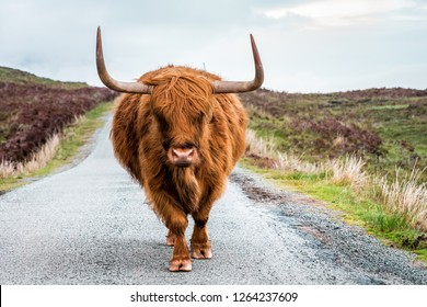 Scottish Highland Cattle bull with big horns stands on a street in Scottish Highlands, Scotland, Great Britain