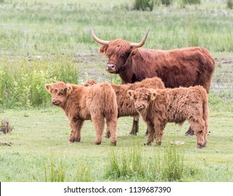 scottish highland cattle with calves