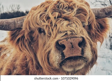 Scottish Highland Cattle Closeup of Face