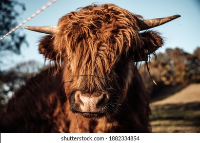 scottish highland cattle cows fam