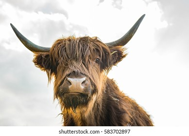 scottish highland cattle on a farm - close up