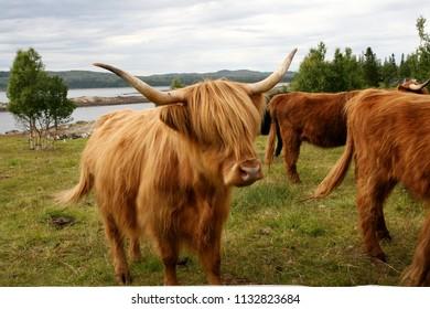 Scottish highland cattle on a summer pasture