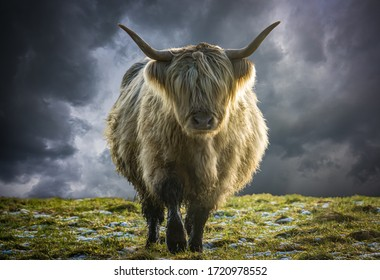 A Scottish Highland Cow Backlit In The Winter Sun Against A Stormy Sky