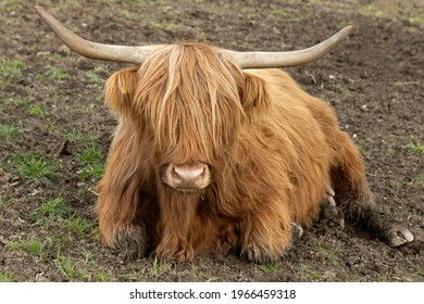 The Scottish highland cow can hardly see anything with her long hair.
