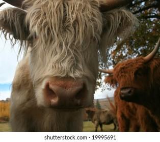 Scottish Highland Cow close-up