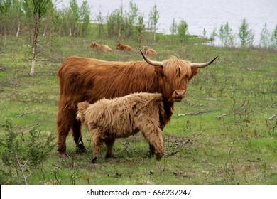 Scottish highland cow feeding her calf.